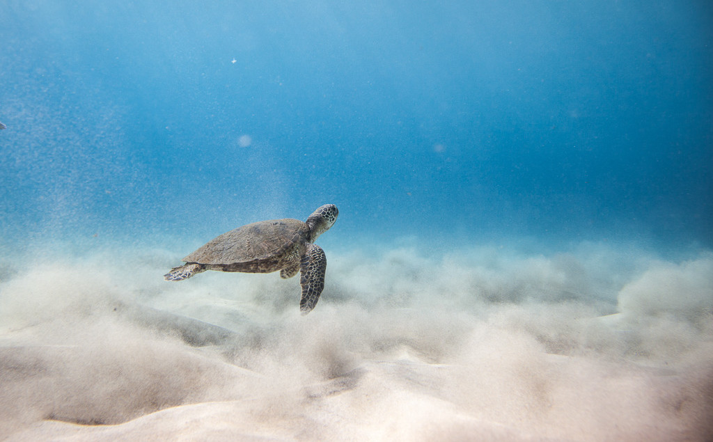 swim with hawaiian sea turtle