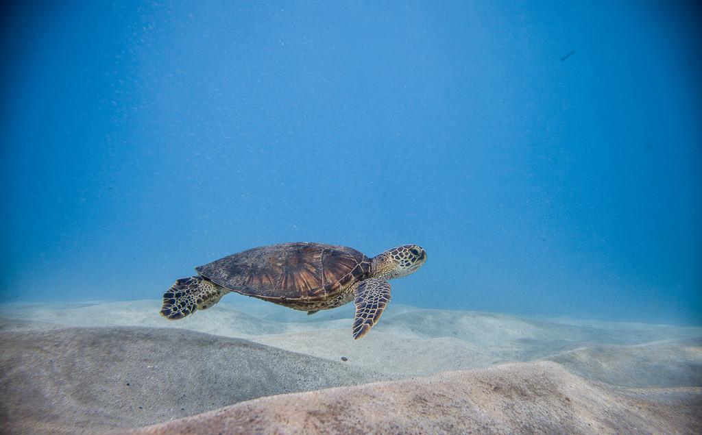 swim with hawaiian sea turtle
