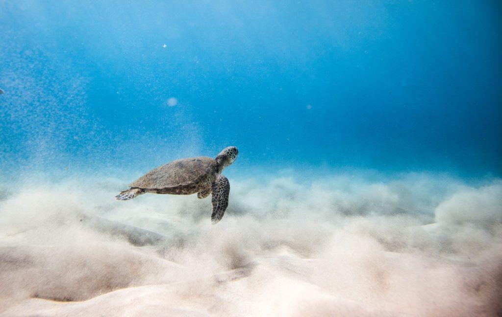 makua beach on oahu turtle
