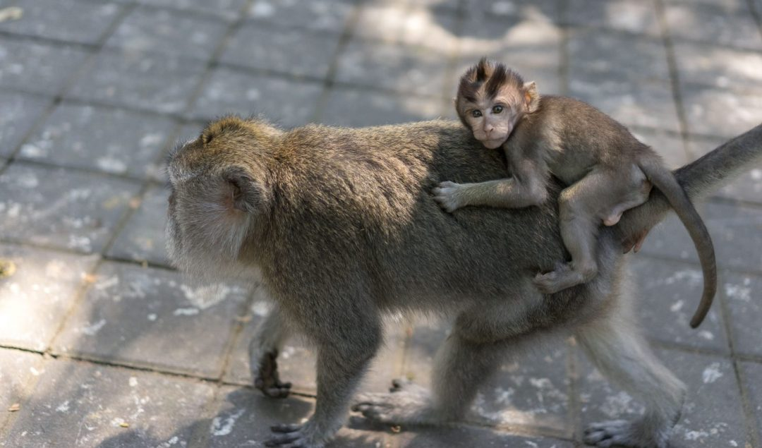 monkey forest bali, ubud bali monkey forest,monkey forest bali cost,ubud monkey forest bali ,sacred monkey forest bali ,bali ubud monkey forest ,monkey forest bali ubud,bali monkey forest ubud,monkey forest bali entrance fee
