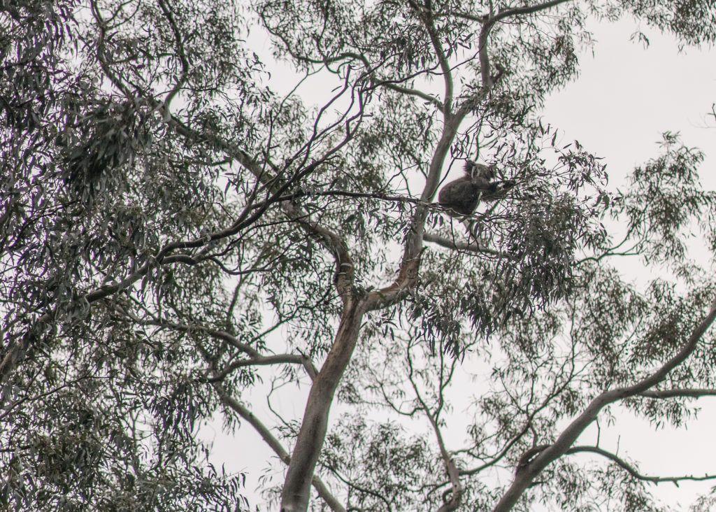 morialta falls, hiking adelaide, koalas adelaide
