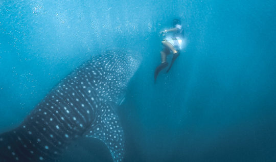 donsol whale shark season,donsol whale shark price/cost,donsol whale shark tour,donsol whale shark interaction,donsol whale watching,donsol whale shark diving,donsol whale sharks best time, donsol whale shark interaction center