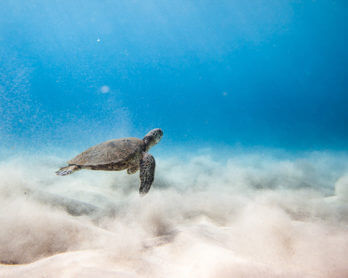 WHERE TO SEE TURTLES ON OAHU, HAWAII